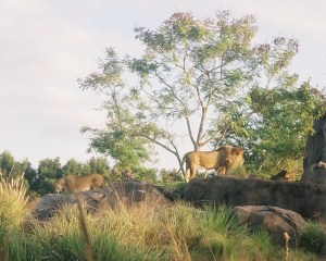 lion animal kingdom