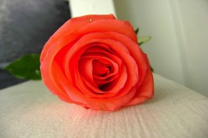 Rose resized