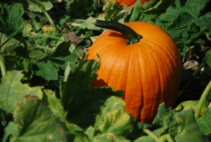 Tis the season for pumpkins! They have tons of uses, some unusual. If you like pumpkins, here are some ideas that go a little bit beyond the ordinary.