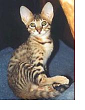 The Serengeti Cat