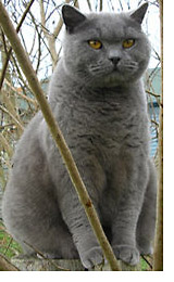 The British Shorthair