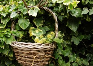Ivy Can Be Poisonous
