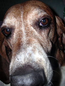 Lucy the Bassett. Copyright William H. Hall III